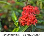 beautiful spike flower blooming ... | Shutterstock . vector #1178209264