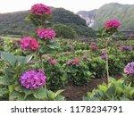 hydrangea flower outside in a... | Shutterstock . vector #1178234791