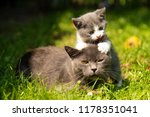 Stock photo family of cats outdoor cat with the baby kitten on grass cat hugs kitten cat plays kitten 1178351041