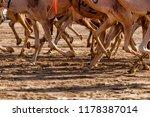 camel racing in track | Shutterstock . vector #1178387014