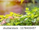 fresh peppermint trees in... | Shutterstock . vector #1178433457
