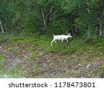 albino moose in swedish forest... | Shutterstock . vector #1178473801