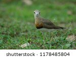 oriental plover  charadrius... | Shutterstock . vector #1178485804