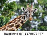 giraffe in the masai mara | Shutterstock . vector #1178573497