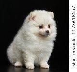 Pomeranian Spitz Dog On...
