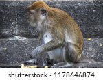 closeup monkey uncovering food... | Shutterstock . vector #1178646874