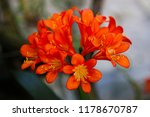 Small photo of Clivia miniata (Natal lily, bush lily, Kaffir lily, fire lily) umbel of funnel-shaped, orange-red flowers, vivid flowers, macro, blurred background.