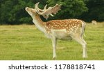Stag  The Fallow Deer Is A...