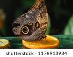 Owl Butterfly On A Slice Of...