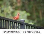 red male northern cardinal bird ... | Shutterstock . vector #1178972461