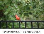 red male northern cardinal bird ... | Shutterstock . vector #1178972464
