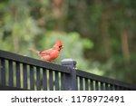 red male northern cardinal bird ... | Shutterstock . vector #1178972491