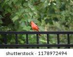 red male northern cardinal bird ... | Shutterstock . vector #1178972494