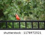red male northern cardinal bird ... | Shutterstock . vector #1178972521