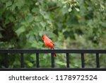 red male northern cardinal bird ... | Shutterstock . vector #1178972524