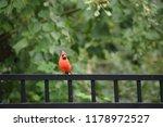 red male northern cardinal bird ... | Shutterstock . vector #1178972527