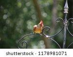 cute  tiny female cardinal bird ... | Shutterstock . vector #1178981071