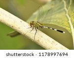 """the green marsh hawk""... 