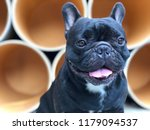 french bulldog lying on cement... | Shutterstock . vector #1179094537