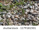 lizard with a green and brown... | Shutterstock . vector #1179181501