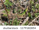 lizard with a green and brown... | Shutterstock . vector #1179182854
