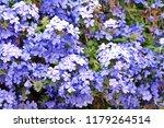 Bush Of Sky Blue Flowers ...