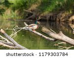 male mallard sits on a fallen... | Shutterstock . vector #1179303784