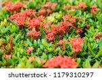 beautiful spike flower blooming ... | Shutterstock . vector #1179310297