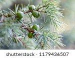 close up of juniper berries | Shutterstock . vector #1179436507