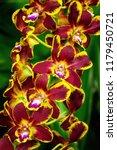 dendrobium orchid flower ... | Shutterstock . vector #1179450721
