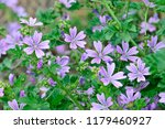 malva sylvestris is a species...