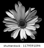Black And White Daisy Macro...