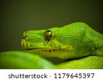 a green boa constrictor on a... | Shutterstock . vector #1179645397