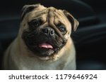the crinkle on the dog pug face. | Shutterstock . vector #1179646924