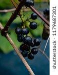 macro of wild grapes growing on ...   Shutterstock . vector #1179687301
