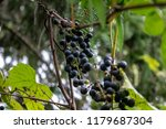 macro of wild grapes growing on ...   Shutterstock . vector #1179687304