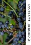 macro of wild grapes growing on ...   Shutterstock . vector #1179687307