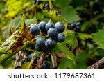 macro of wild grapes growing on ...   Shutterstock . vector #1179687361