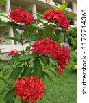 spike flowers or red flowers in ... | Shutterstock . vector #1179714361