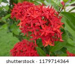 spike flowers or red flowers in ... | Shutterstock . vector #1179714364