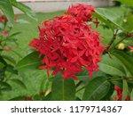 spike flowers or red flowers in ... | Shutterstock . vector #1179714367
