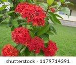 spike flowers or red flowers in ... | Shutterstock . vector #1179714391