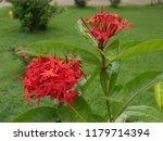 spike flowers or red flowers in ... | Shutterstock . vector #1179714394