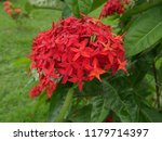 spike flowers or red flowers in ... | Shutterstock . vector #1179714397