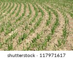young green corn wheat field agriculture in spring