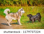 male and female dogs. | Shutterstock . vector #1179737224