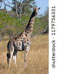 a giraffe  giraffa... | Shutterstock . vector #1179756331