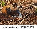 an african wild dog  lycaon... | Shutterstock . vector #1179802171