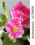 Pink primula - stock photo
