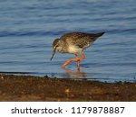 the common redshank  tringa... | Shutterstock . vector #1179878887